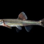 Notropis spectrunculus