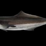 Rachycentron canadum