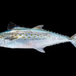 Scomberomorus maculatus