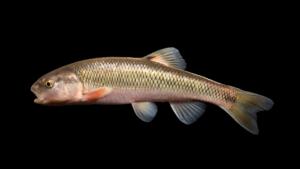 Semotilus atromaculatus