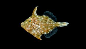 Stephanolepis hispidus