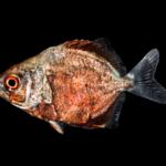 Trachinotus falcatus
