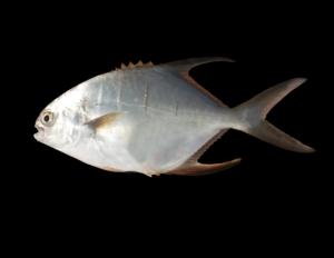 Trachinotus goodei