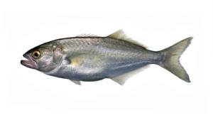 Pomatomus saltatrix