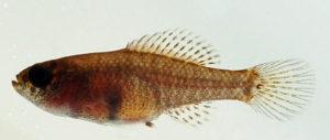 Elassoma beohlkei