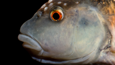 Nocomis leptocephalus Head