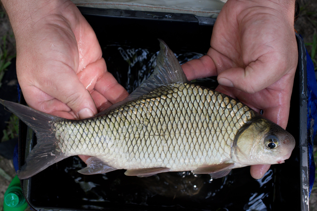 Carpiodes cyprinus