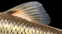Semotilus atromaculatus Dorsal Spot