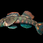 Etheostoma thalassinum