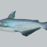 Ictalurus furcatus