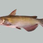 Ictalurus punctatus