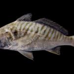 Leiostomus xanthurus