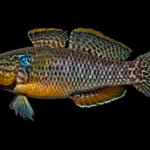 Dormitator maculatus
