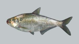 Dorosoma cepedianum