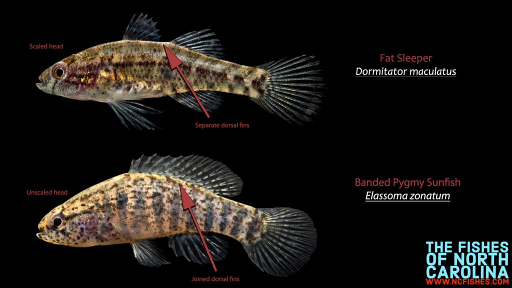 Fat Sleeper vs Banded Pygmy Sunfish