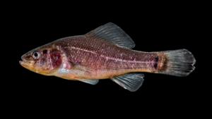 Aphredoderus sayanus