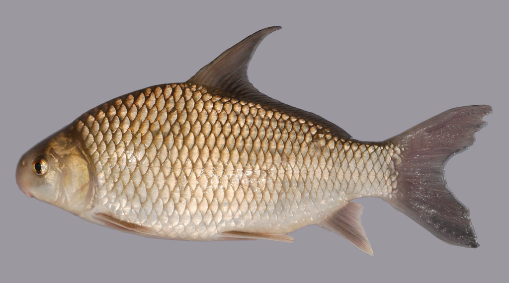 Cyprinus velifer