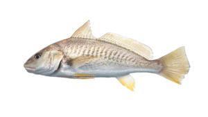 Micropogonius undulatus