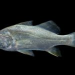 Bairdiella chrysoura