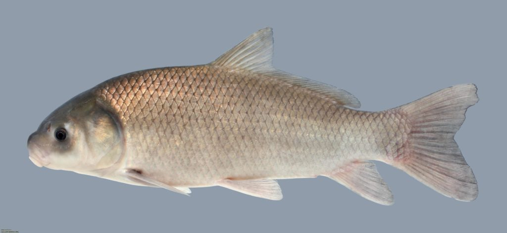 Ictiobus niger