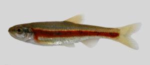 Clinostomus sp. Smoky dace