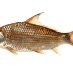 Carpiodes sp.