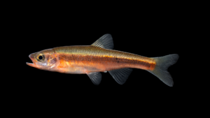 "Clinostomus sp. ""Hiwassee"" Dace"