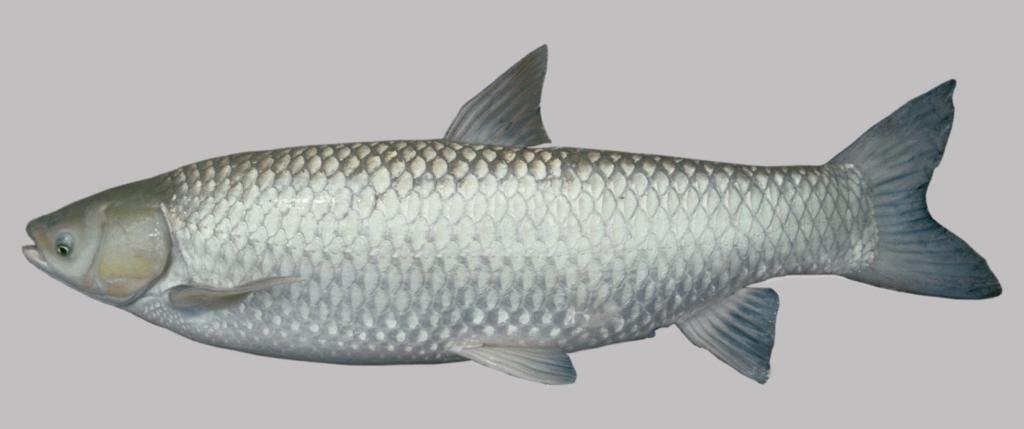 Ctenopharyngodon idella