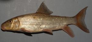 Moxostoma pappillosum