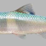 Erimonax monachus NCWRC