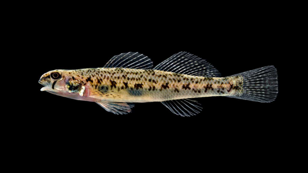 Etheostoma olmstedi