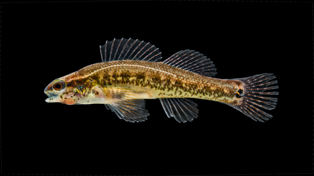 Etheostoma serrifer