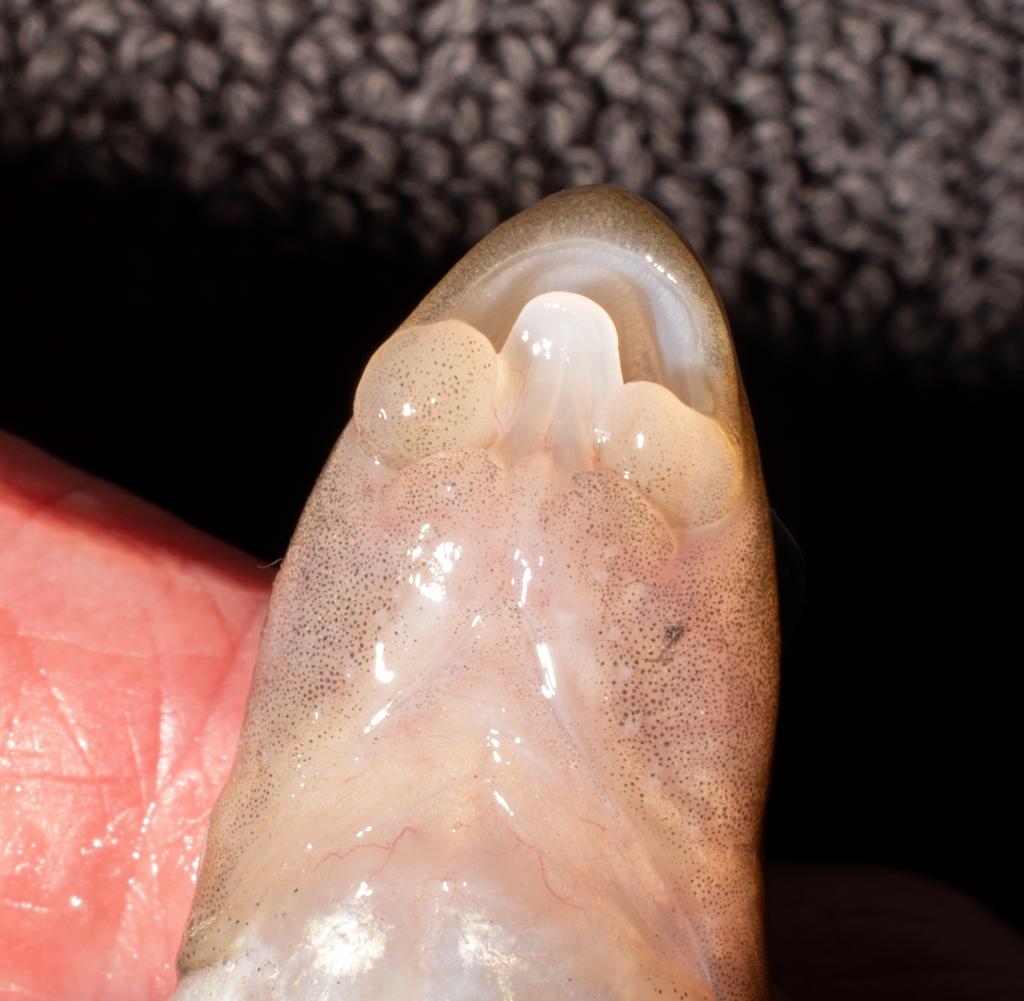 Exoglossum maxillingua Lips