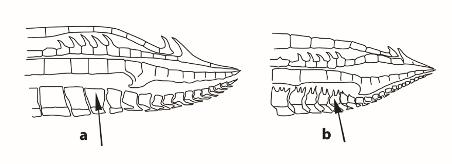 Gambusia gonopodium