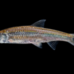 Hybognathus regius