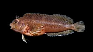 Hypleurochilus geminatus