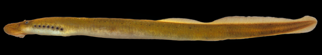 Ichthyomyzon bdellium
