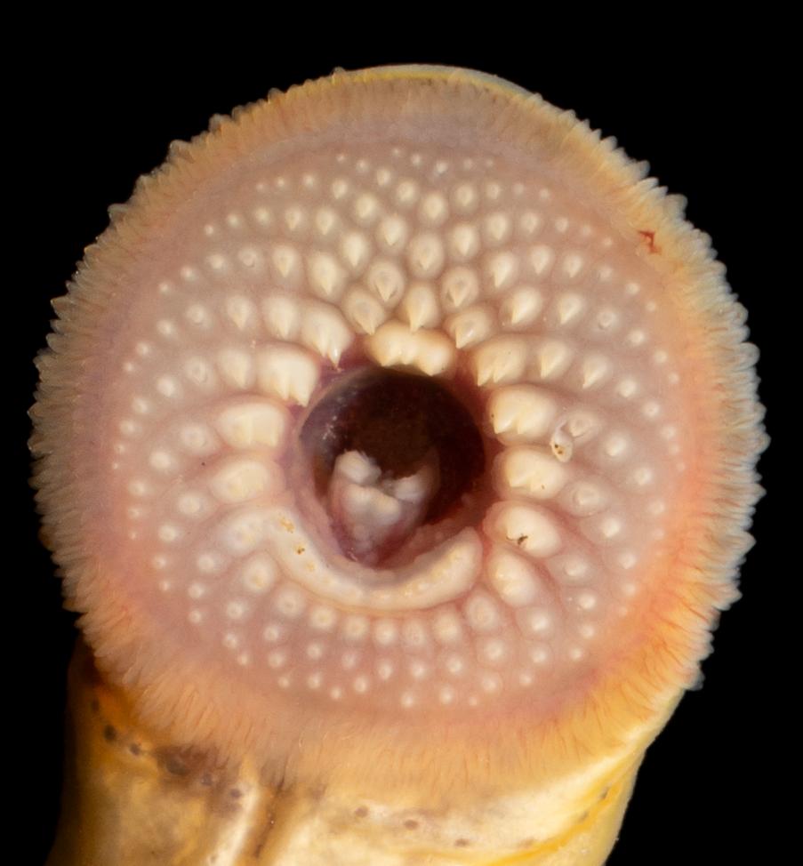 Ichthyomyzon greeleyi Oral Disc