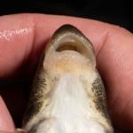 Moxostoma ariommum Lips