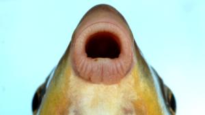 Moxostoma macrolepidotum lips