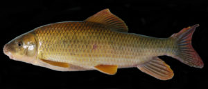 Moxostoma robustum