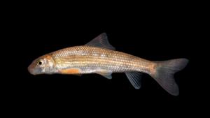 "Moxostoma sp. ""Brassy"" Jumprock"