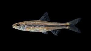 Notropis hudsonius