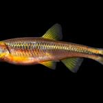 Notropis rubricroceus
