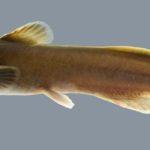 Noturus flavus