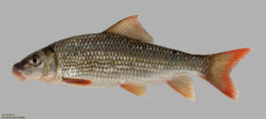 Moxostoma carinatum