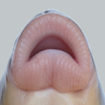 "Moxostoma sp. ""Brassy"" Jumprock - Lips"