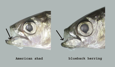 American Shad vs Blueback Herring Jaw