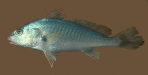 Micropognias undulatus