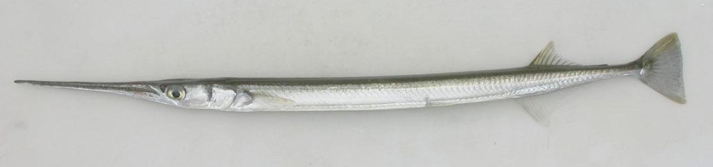Strongylura marina